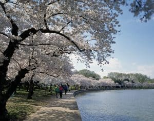 Cherry Blossoms around the Tidal Basin. Photo by Carol M. Highsmith
